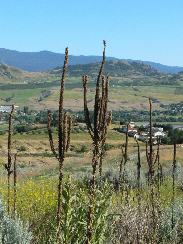 Mullein watching over the Bella Vista Valley towards the Commonage