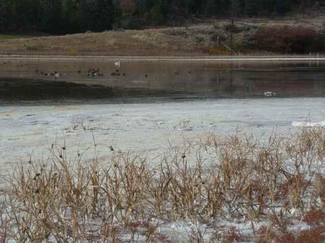Migratory Birds on Roberts Lake