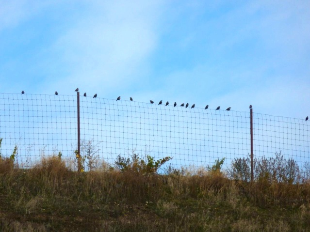 starlings at the rise