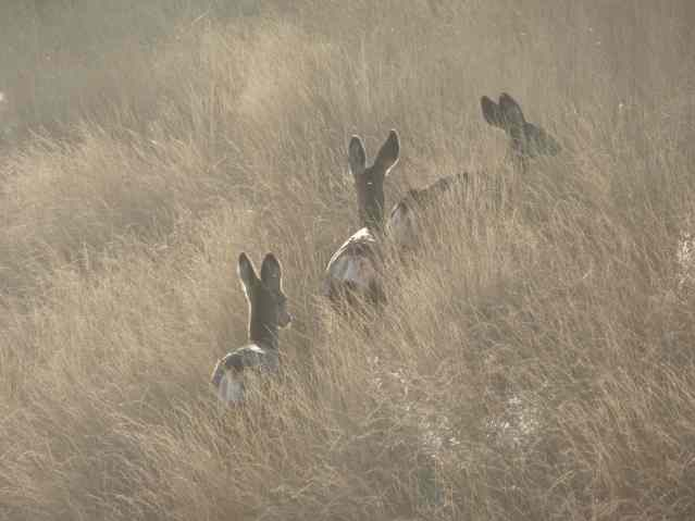 Three deer in the evening grass.