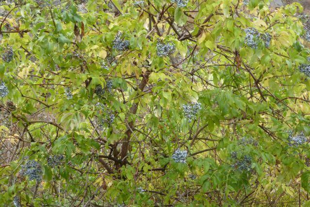 Elderberry bush with uneaten fruit