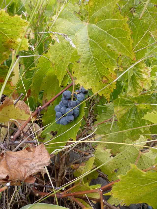 feral grapes growing among the weeds