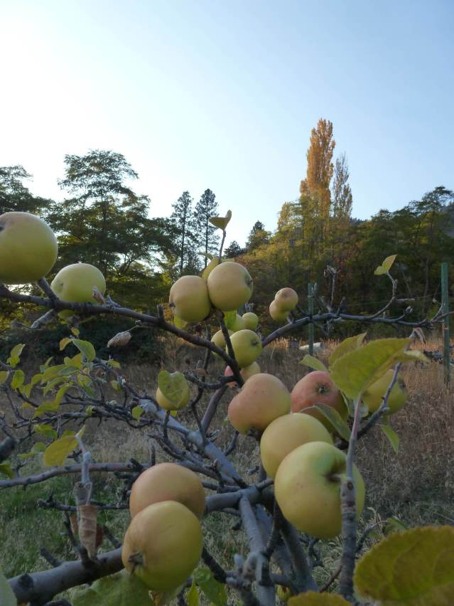 root stock apples gone wild in Peachland