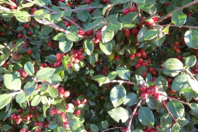 Cranberry Cotoneaster berries in October.
