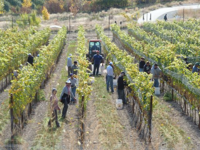Happy humans picking grapes at The Rise