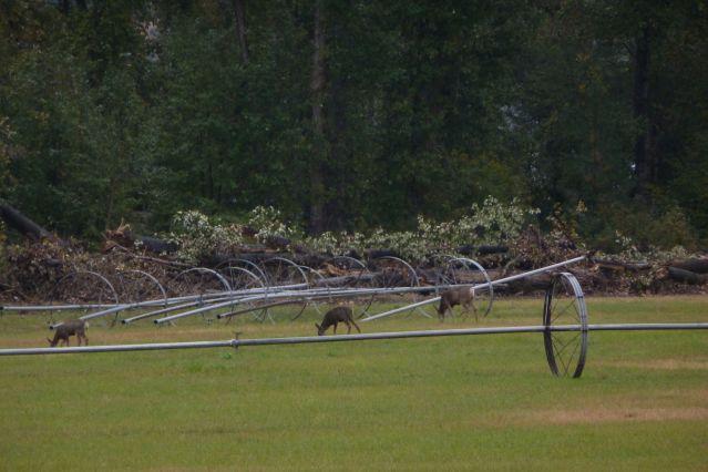 Deer Grazing in Alfalfa Field in Okanagan Falls