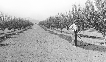 Orchard Worker in Early East Kelowna Orchard