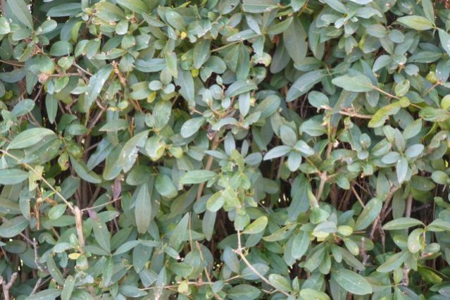 Privet hedge, tightly-clipped