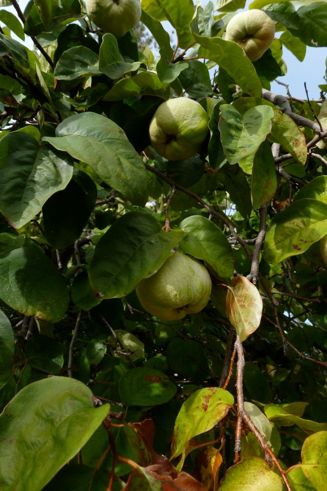 Ripe quince on a branch