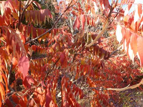Sumac Leaves in the Fall
