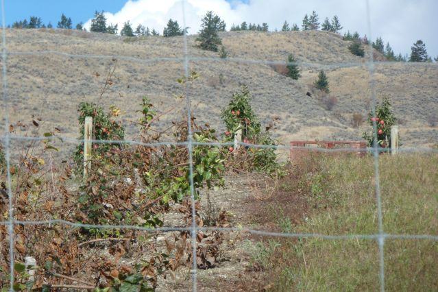 weedsprayed apple stumps behind a deer fence