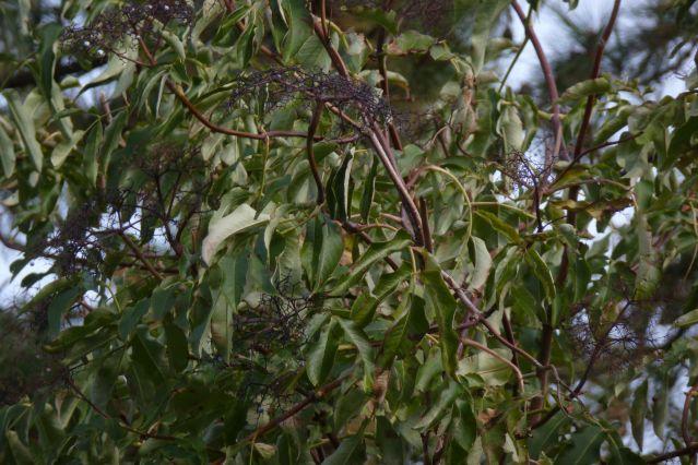 Elderberries stripped bare in Okanagan Falls