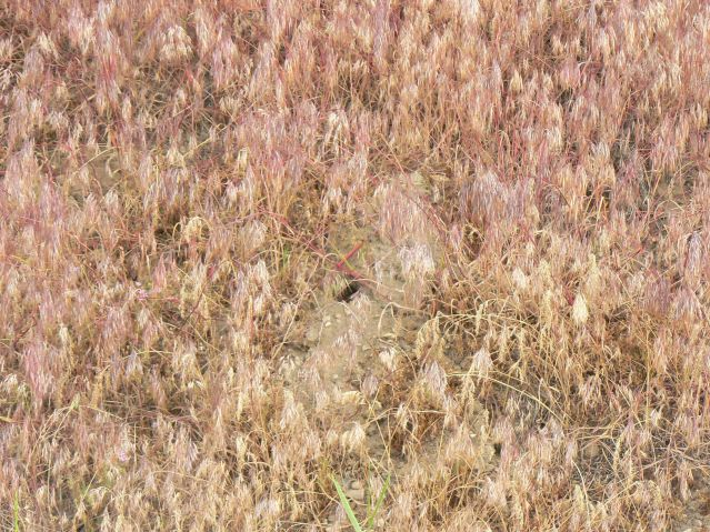 Vole Hole in a Cheatgrass Slope
