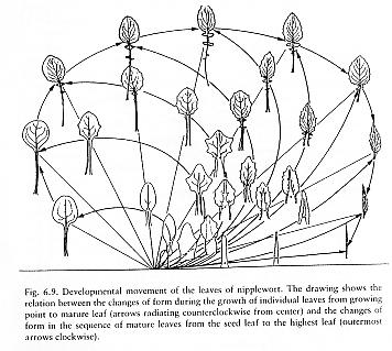 ripplewortsequence
