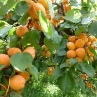 For Apricots, Spring Starts Early and Lasts All Year