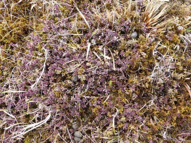 heathercarpet
