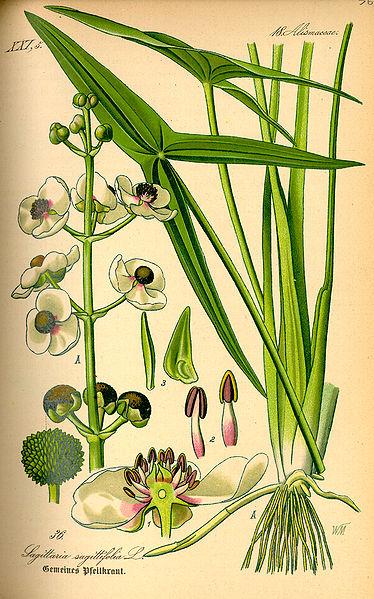 374px-Illustration_Sagittaria_sagittifolia0