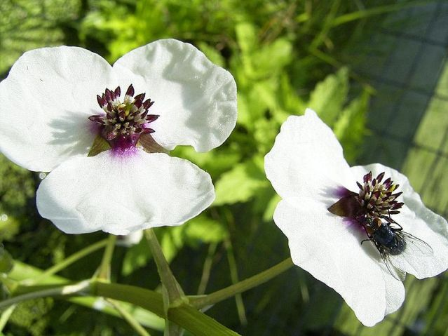 800px-SagittariaSagittifolia-bloem-kl
