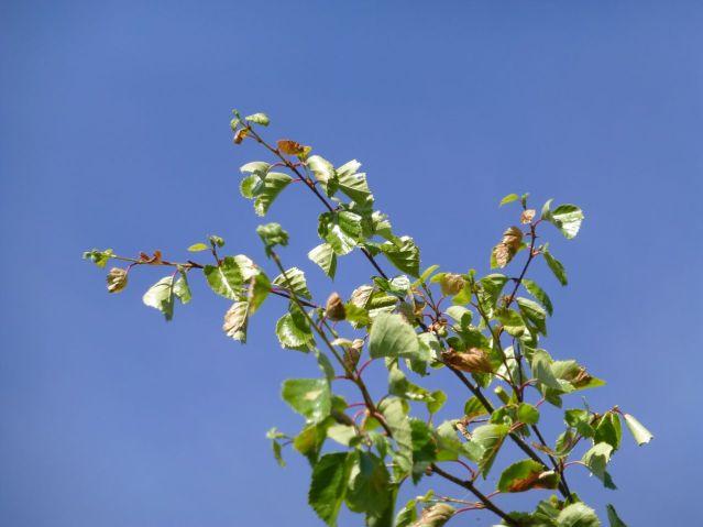brownbirchleaves