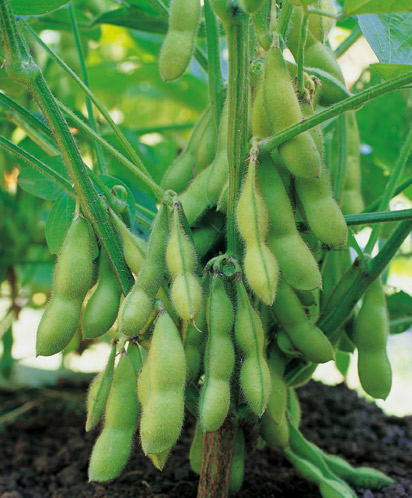 Gardens0304_Soybeans