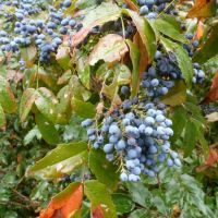Ten More New Commercial Fruit Crops for the Okanagan