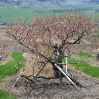 Ten New Commercial Fruit Crops for the Okanagan