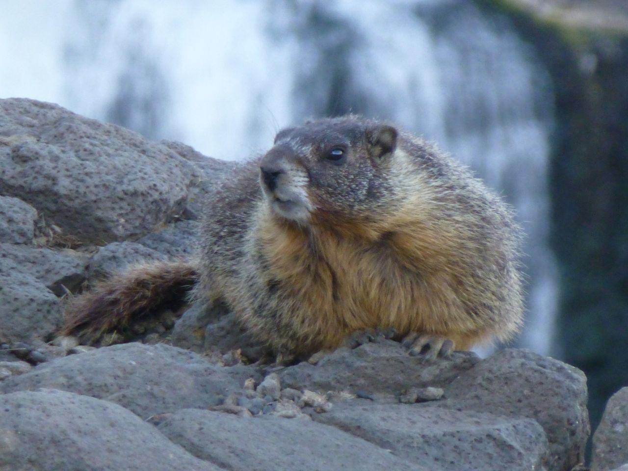 yellow bellied marmot   Okanagan Okanogan