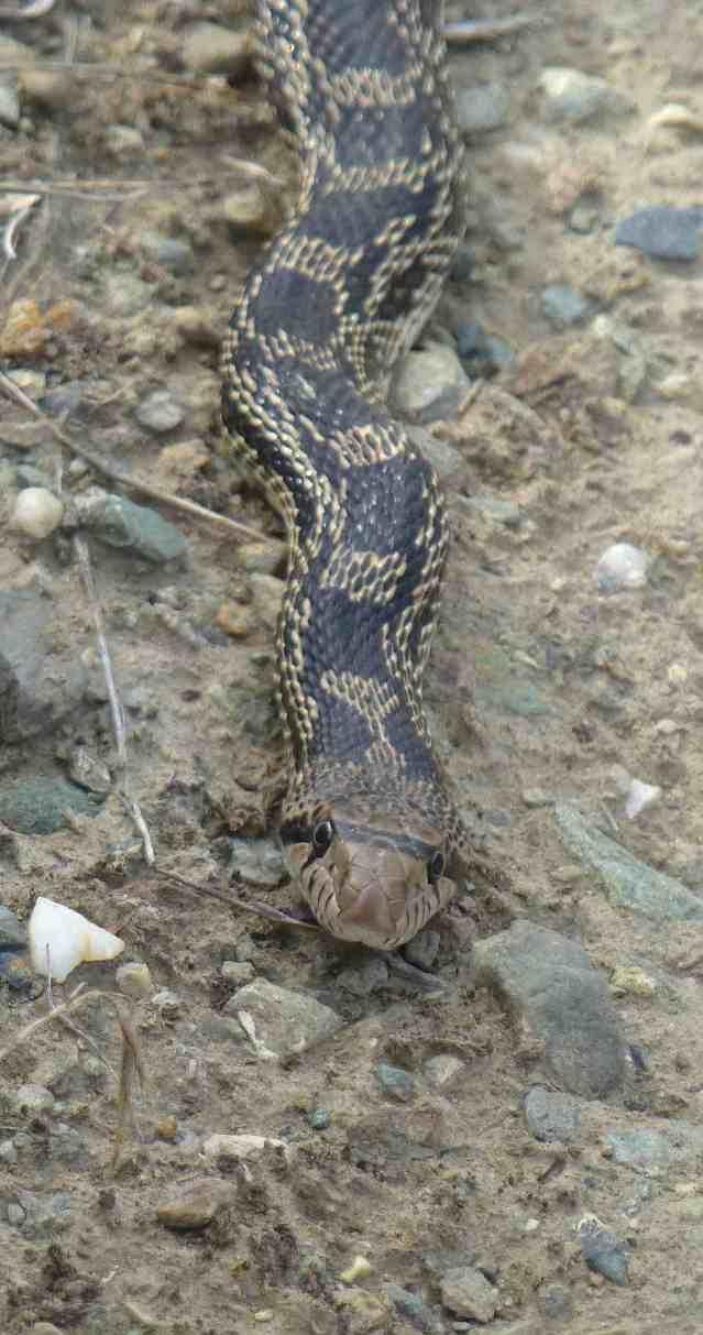 snakelong2