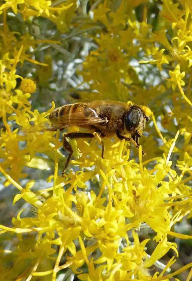 yellowbee2