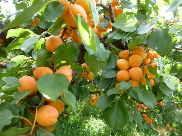 Celebrating the Apricot