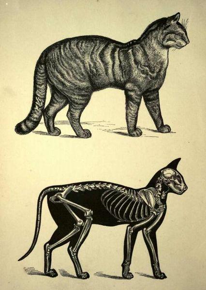 426px-Cat_skeleton_drawing