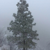 Ponderosa Pine: The Tree at the Heart of a People