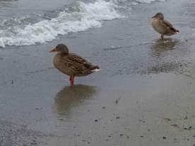 Ducks in Okanagan Landing