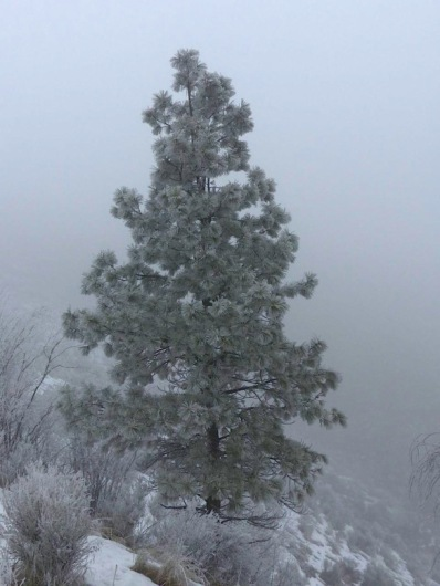 Ponderosa Pine, Bella Vista