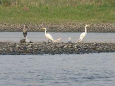 Egrets, Columbia River