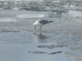 Gull, Okanagan Lake