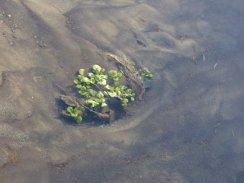 Watercress, Okanagan Landing