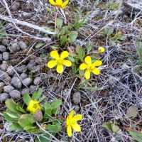 Sagebrush Buttercup in Its Natural Environment