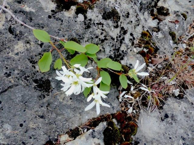 saskatoonflowers