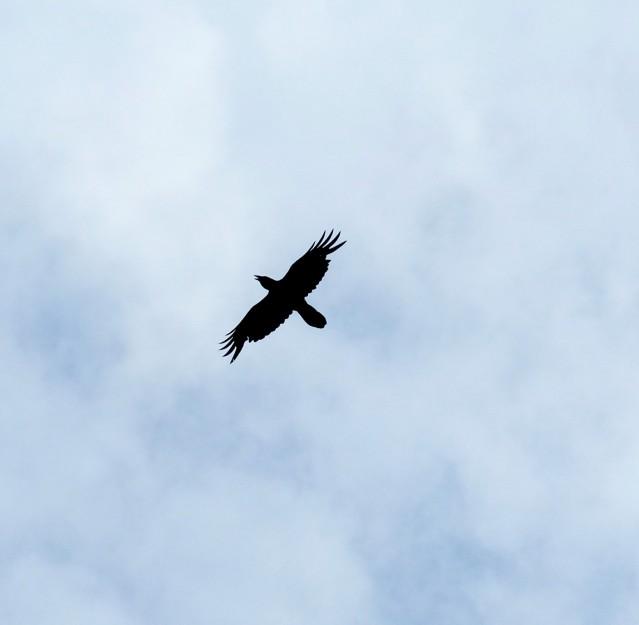 ravenspread