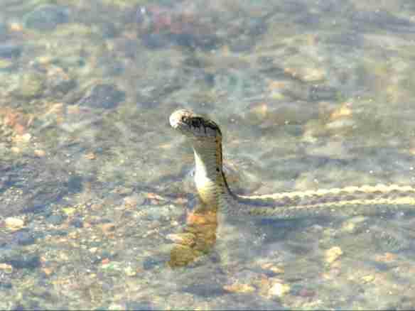Garter Snake Fishing