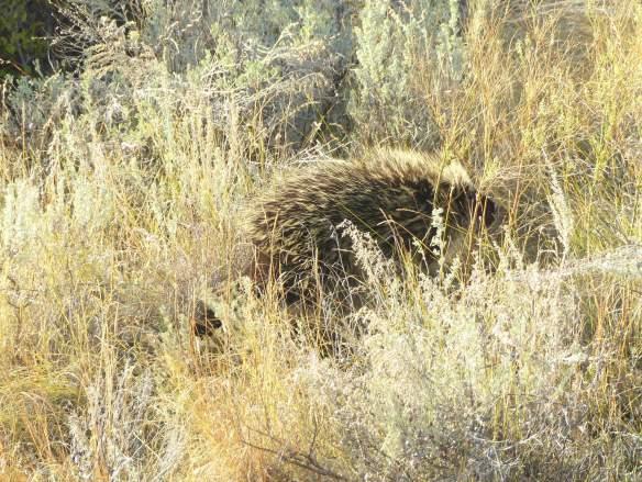 porcupine4