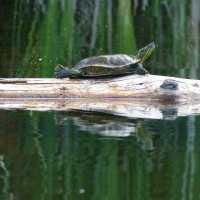 Turtle Catches the Sun