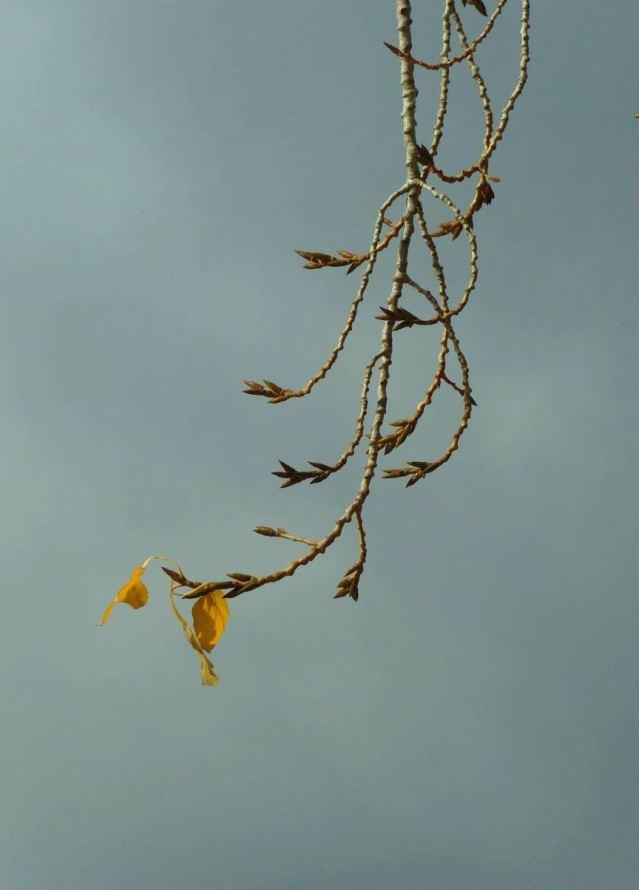 cottonhang