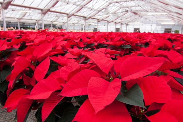 poinsettia-plants