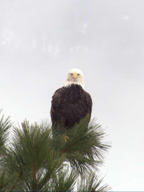 eaglestaring