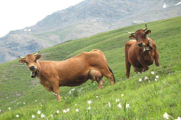 sapi-gunung