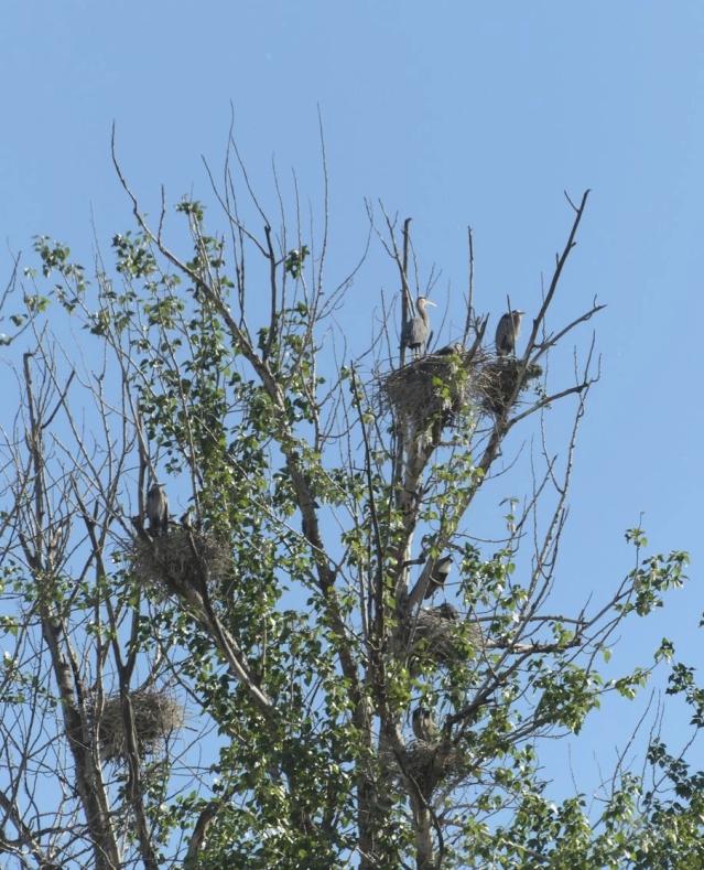nestingherons