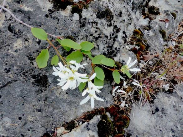 saskatoonflowers1