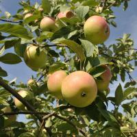 The Secret of Apple Pie